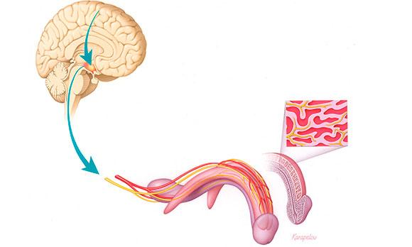 Эрекцию запускает и контролирует головной мозг