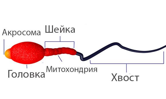 Строение спермия